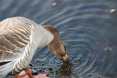 262 (AO'Brien) Tags: arklow wicklow autumn birds