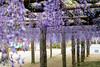 DSC_1648 (sayo-tsu) Tags: 藤 wisteria 牛島のフジ 春日部市 埼玉県 kasukabe saitama 特別天然記念物