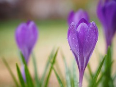 Signs of Spring (Richard Pilon) Tags: crocus spring olympus flowers