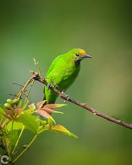 Golden-Fronted Leafbird (raveclix) Tags: raveclix india incredibleindia canon canon5dmarkiii tamron tamronsp150600mmf563divcusdg2 thattekadbirdsanctuary thattekd kerala birds bird birdsofindia goldenfrontedleafbird chloropsisaurifrons