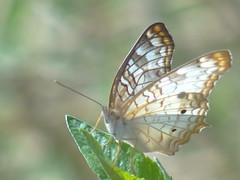 DSC00403 (familiapratta) Tags: sony dschx100v hx100v iso100 natureza inseto insetos nature insect insects