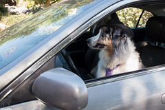 "(15/52) Where is Mom?  We're going to be LATE"" (Jasper's Human) Tags: 52weeksfordogs 52wfd aussie australianshepherd"
