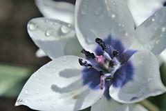 Tulpe blau-weiss (silkebahr) Tags: tulpen frühling flower blüte blumen spring sonne licht schatten macro waterdrops
