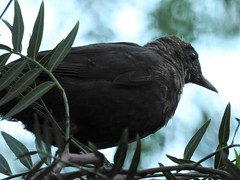 Female Blackbird  - Perhaps? (Free_aza_Bird) Tags: como house south yarra melbourne bird birders turdus merula turdusmerula common blackbird