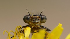 Don't talk to me about Hay fever...  {Explored} (Cosper Wosper) Tags: pollen damselfly yellow hamwall levels somerset macro