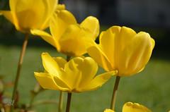 """Festival en jaune (Brigitte .. . """"Tatie Clic"""") Tags: 2017040729 tulipe avril printemps fleurdujardin jaune macro quatre sansretouche lotetgaronne aquitaine francesudouest"""