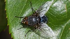 Hairy Fly Close-up. (JW Asturias) Tags: 105 nikon micro ais fly macro sony nex7 emount