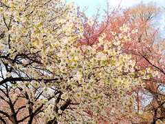 Cherry blossom in Tokyo (Digidoc2) Tags: cherryblossom cherrytrees tokyo japan cherry delicate blossom tree pink beautiful flowers