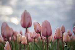 Subtle pink tulips. (Monika Kalczuga (on&off)) Tags: tulips tulipany tulpen tulipfields flowerfields netherlands holland flowers nature