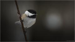 Black-Capped Chickadee (Chris Lue Shing) Tags: nikond5100 nikonafs70300f4556gvr bird ontario aurora winter nokiidaatrail mckenziemarsh nature ©chrislueshing afsnikkor70300mm14556g nikon 70300 70300mm nikkor animal d5100 bokeh blackcappedchickadee chickadee
