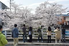 cherryb17323 (tanayan) Tags: cherry blossoms sakura flower nikon v3 aichi nagoya japan 愛知 名古屋 日本 山崎川 桜 さくら yamazaki river cityscape