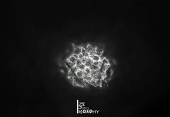 #nikon 50mm #microscopic #b/w #diffused (izzephotography) Tags: microscopic nikon b diffused