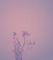 goner (meeeeeeeeeel) Tags: delicate delicado florseca driedrose driedflower dryrose dryflower flashon iphone iphoneography rosado pink softtones softcolors deadflower flormorta rosamorta plantamorta deadplant deadrose