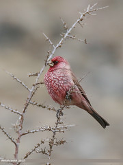 Great Rosefinch (Carpodacus rubicilla) (gilgit2) Tags: avifauna birds borit canon canoneos7dmarkii category fauna feathers geotagged gilgitbaltistan gojal greatrosefinchcarpodacusrubicilla imranshah location pakistan species tags tamron tamronsp150600mmf563divcusd wildlife wings gilgit2 carpodacusrubicilla birds09
