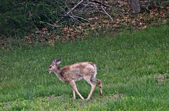 So Sad (marilyntunaitis) Tags: deer injury backyard nj