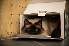 Hellcat (jolymaxime86) Tags: chat cat boîte box angry birmanie