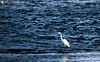 The White Spectator (Kovendhanv) Tags: heron nature water birds canon dam wildlife trichy kallanai 600d