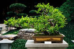 Penjing VI (Bokeh-Dokey) Tags: hongkong bonsai polinmonastery penjing diamondhill