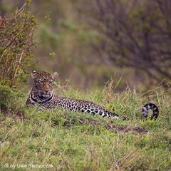 Leopard (Uwe_Skrzypczak) Tags: africa cats animals nikon wildlife safari leopard serengeti masaimara leopards wildlifephotography d810 serengetiwildlife instagram