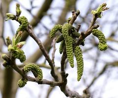 Walnuss, echte / common walnut (Juglans regia) (HEN-Magonza) Tags: springtime frhling commonwalnut echtewalnuss naturschaugartenmainz juglansregla naturschaugartenlindenmhle