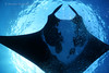 Majestic Mantas of the Revillagigedos