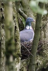 tree nest pigeon