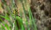 into the trap of Spider (- Gothic -) Tags: macro nature yellow insect spider web natura giallo paws trap filo insetti ragno tela nascosto zampe ragnatela trappola invernizzi andreainvernizzi fotografinewitaliangeneration macroenaturaripresadavicino canon550d