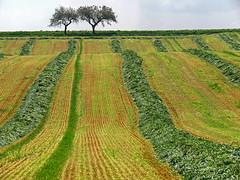 Waving field (RainerSchuetz) Tags: texture field landwirtschaft april agriculture frhling perennialrye grnroggen