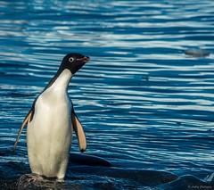 DSC_0852.jpg (Ashley.Cordingley1) Tags: sea storm elephant cold ice birds giant fur penguin extreme leopard seal british remote whales orca petrol wilderness humpback survey albatross antarctic peninsular weddell crabeater wilsons