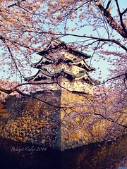 Hirosaki Castle (bcaliphoneography) Tags: flowers japan spring aomori cherryblossoms copyrighted 2014 hirosakicastle bridgetcalip uploaded:by=flickrmobile flickriosapp:filter=nofilter