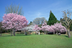 Appreciate the beautilful day (Juujuu Photoshots) Tags: park beautiful cherry tokyo kyoto day blossom sakura nara japon 2014