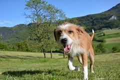 (Urs Viktor) Tags: dog wiese hund gras braun solothurn thal noisette welschenrohr