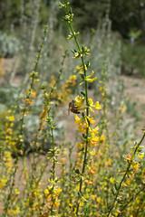 Acmispon scoparius (Weeding Wild Suburbia) Tags: park gardens places publicgardens spnp