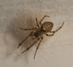 """Spider and Nest • <a style=""""font-size:0.8em;"""" href=""""http://www.flickr.com/photos/57024565@N00/14074534325/"""" target=""""_blank"""">View on Flickr</a>"""