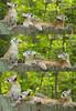 Look up in the sky...it's a bird...it's a plane... (ucumari photography) Tags: animal mammal april cubs puma cougar mountainlion 2014 catamount specanimal ucumariphotography