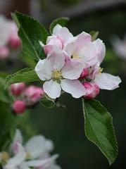 Apple Blossom (haberlea) Tags: pink flowers tree green apple nature garden mygarden appleblossom