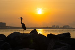 DSC04795 (David Youngblood) Tags: beach silhouette sunrise coast alabama pelican orangebeach sonya77 slta77