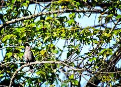 Catbird (P.Woolley) Tags: bird nature nikon cutlerpark d3100 nikond3100 cutlerparkneedhammass