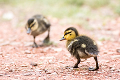 Duckling 2 (John P Norton) Tags: bird fauna duckling manual f56 ef400mmf56lusm focallength400mm 13200sec canoneos5dmarkiii copyright2014johnnorton
