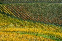 different leaf colours (Kitschi_) Tags: autumn sterreich nikon herbst vineyards nikkor vr afs steiermark weinberge sdsteiermark 1685 2013 gamlitz d7100 southstyria