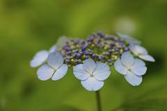 Hydrangea macrophylla f. normalis (Jim Mayes) Tags: macro digital canon eos tamron 90mm tamronspaf90mmf28macro