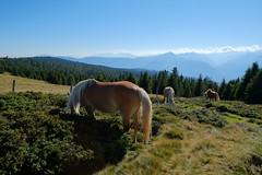 Südtirol (m.a.r.c.i) Tags: italien horses italy nature landscape italia fujifilm landschaft pferde fujinon marci südtirol southtyrol haflinger sarntal hafling xe1 f284 sarnthein kreuzjöchl xf1855mm