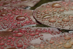 Raindrops on Waterlily leaves (Richard Becker Photography) Tags: wet water leaves rain weather leaf spring waterlily lily floating drop float nymphaea raindrop