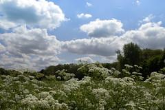 Linschoten (judithvanagthoven) Tags: holland utrecht nederland natuur wolken lucht fluitekruid linschoten hollandse linschoterbos