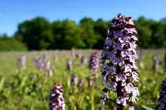Orchidées sauvage - Orchis purpurea (orchis pourpre)? (Demi@n Pictures) Tags: nature sony orchidée orchidéessauvage nex5n sonynex5n