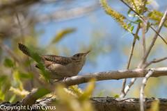 House Wren (Lynn photographing the world) Tags: bird nature colorado wildlife may wren barrlakestatepark housewren