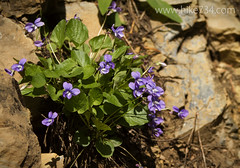 "Violets • <a style=""font-size:0.8em;"" href=""http://www.flickr.com/photos/63501323@N07/14199461329/"" target=""_blank"">View on Flickr</a>"