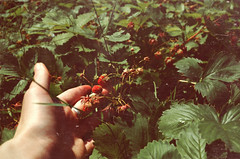 34_0244 (irinayourova) Tags: old summer film leaves strawberry berries hand fingers scratches