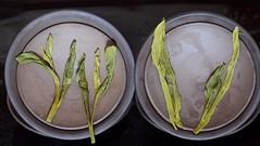 nocheinmal sieht man den Unterschied, die Maschine walzt und man bekommt die Blätter gar nicht mehr auseinander, wohingegen die Handverarbeitung wesentlich schonender ist (cha.shifu) Tags: berg anhui gelber grüntee rarität houkui chashifu taiing