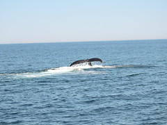 DSCN1233 (aurospio) Tags: offshore massachusetts chatham whales humpback necwa